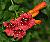 After the rain; trumpet vine blossoms