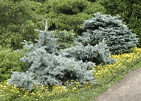 Blue Spruce with Yellow Groundcover. Nice.