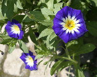 Complementary colored flower