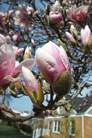Magnolia blossoms are coming!
