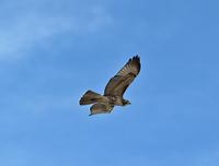 Hawk, Pikes Peak, CO