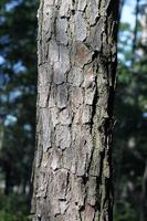 Loblolly pine bark