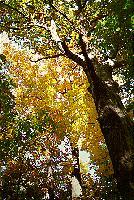 Autumn, Oak Forest