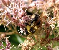Bee on Joe Pye