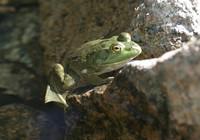 Frog in Jordan Pond creek