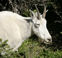 Mountain Goat - About Six Feet Away