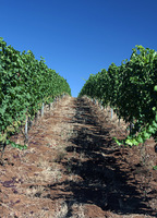 Miles of vines whose grapes turn into wine