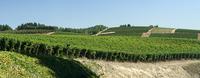 Vines, northwest hills of the valley