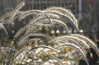 Pennisetum seed heads; fall