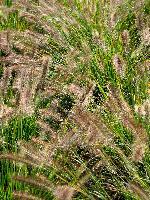 <i>Pennisetum</i> seed heads