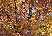 Autumn Foliage, Maple Tree