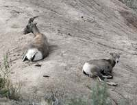 American Antelope - Male and female/child?